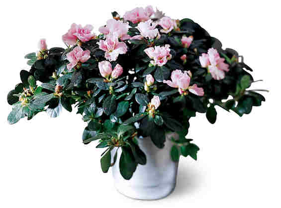 Potted White Azalea