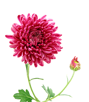 red chrysanthemum flower meaning, Natural flower