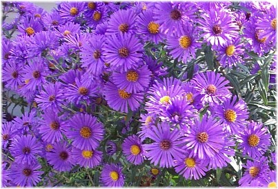 Flower Direct on As Cut Flowers  China Asters Have Rigid Stems That Are Often 24 Inches
