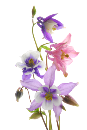 interesting facts about columbine flowers, Beautiful flower