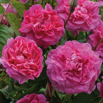 england's rose from david austin rose new rose variety 2013