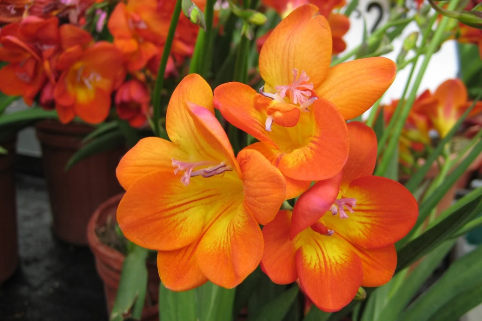Grower direct flower varieties freesia freesia mightylinksfo