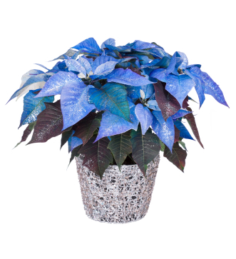 Grower Direct Flower Varieties Poinsettias Care