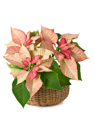 Grower Direct Flower Varieties Poinsettias Care Handling