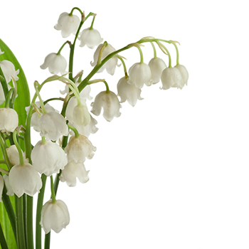 Grower Direct Flower Varieties Lily Of The Valley