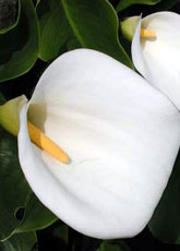 Grower direct flower information fillers and other flowers zantedeschia elliotiana calla lilies mightylinksfo
