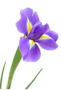 Flowers that bloom in the spring bloom in the spring or summer they make excellent cut flowers iris mightylinksfo